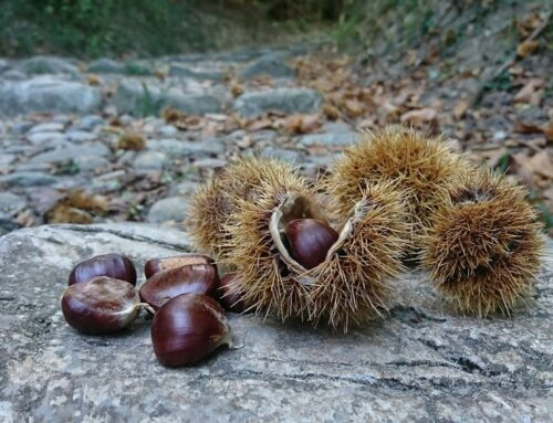 Harvesting Chestnuts on Monte Barro Lake Como